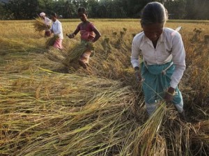 A woman in India harvesting rice