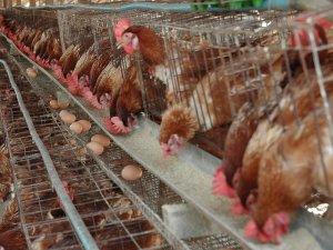 chickens-02064a2da3617b54ffee56246937a0b3ab259274-s1600-c85.jfif