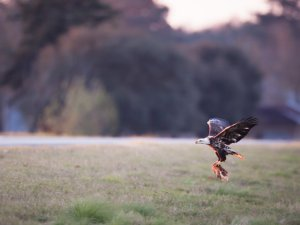 white-oak-pastures-bald-eagles-3-2--8a659fb85864863fa192f7d90300cd9bfecde5b2-s1600-c85.jfif